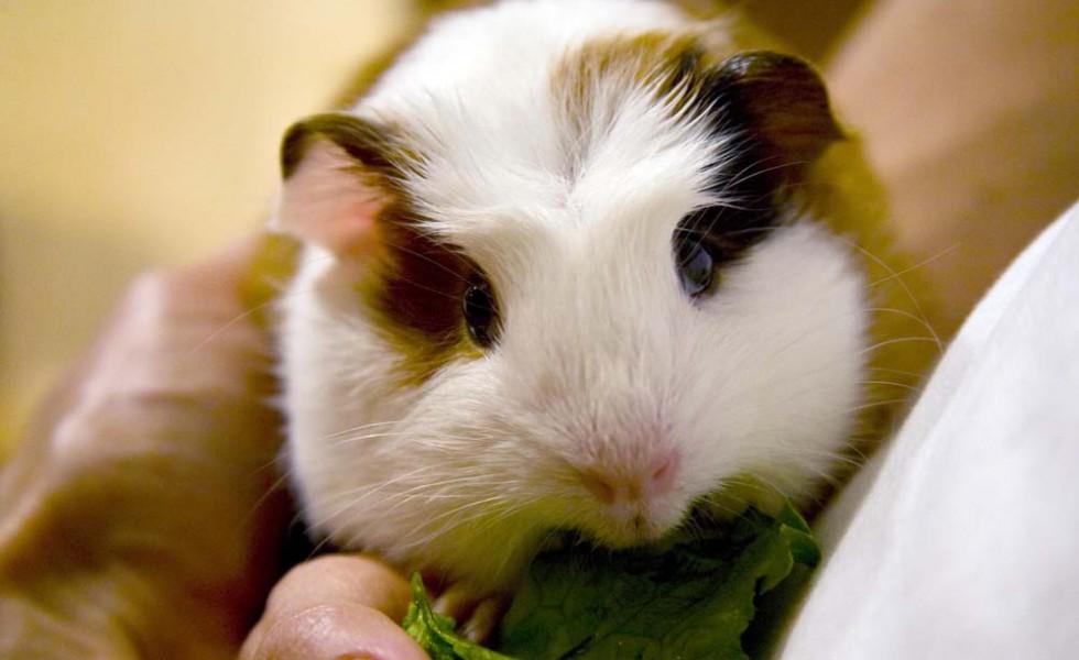 Guinea Pig eats some greens